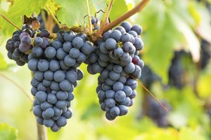 You don't have to juice a Concord grape cluster.