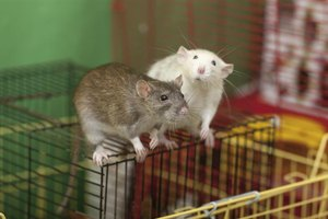 Two pet rats sitting on top of cage.