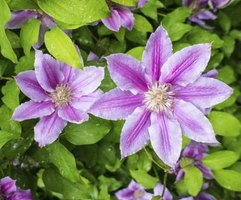 """Nelly Moser"" clematis has striped pink flowers."