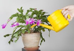 Water a Christmas cactus before repotting to reduce stress on the plant.