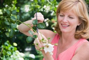 How to Prune Asters, Salvia and Other Flowering Plants