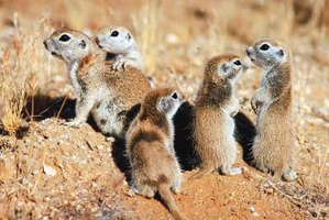 Ground squirrels often live in small groups.