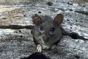 Rats gnaw through a variety of materials, including cement.