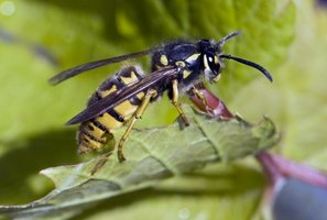 Yellowjacket wasps visit grape clusters with damaged fruits in summer and fall.