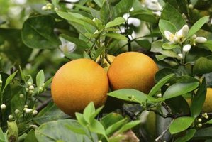 Orange trees contribute evergreen foliage, fragrant flowers and colorful fruit.