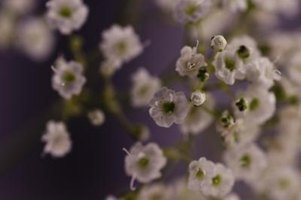Baby's breath is easy to dry because the flowers are so small.