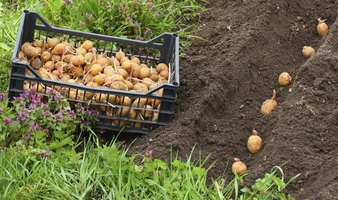 Potato planting occurs after the soil warms to 50 F and the danger of frost passes.
