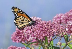Milkweed plants support a healthy Monarch butterfly population.