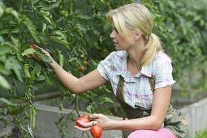 Harvest tomatoes when the fruits are firm and fully colored.