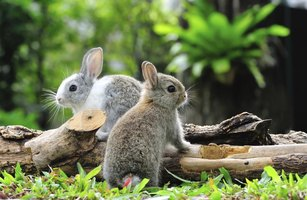 Two baby rabbits in garden