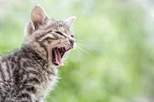 Kitten yawning outside.