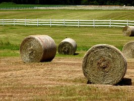 Fescue Can be Baled and Fed to Grazing Animals
