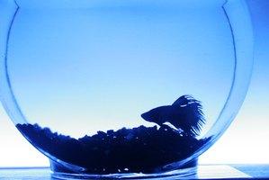 How to treat betta fish swim bladder disease 7 steps ehow for Betta fish swim bladder