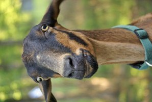 Signs of Whelping for Pregnant Goats