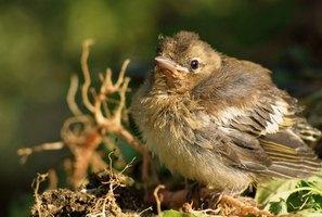 Wild Baby Finch Diet