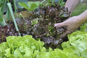 When is lettuce ready to pick from a garden ehow for How to pick lettuce from garden