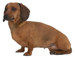 What to Do for a Dachshund With an Infected Tooth