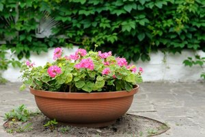 What are the different kinds of geraniums ehow - Different types pelargoniums ...
