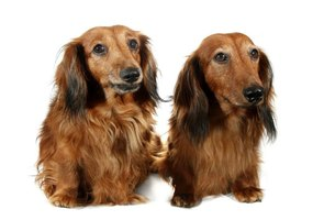 Characteristics Of Longhaired Dachshunds Ehow