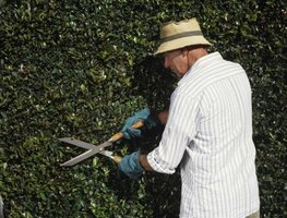 Some Shrubs Take Well To Formal Pruning For A Finished Look