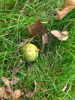 When in the pod, a black walnut is a little smaller than a tennis ball.