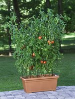 Tomatoes can thrive in a variety of container styles.