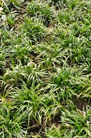 Monkey grass plants