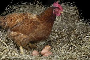 Why Do Hens Quit Laying Eggs?
