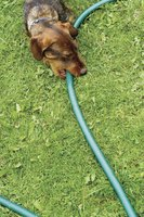 Dog chewing on an outdoor hose.