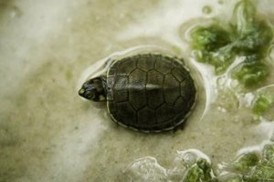 Do Turtles Need Water : What Kind of Water Does an Aquatic Turtle Need? eHow