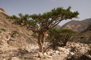 Frankincense Tree Growing The Frankincense Tree May Drop