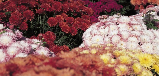 How Often Should You Water Mums?