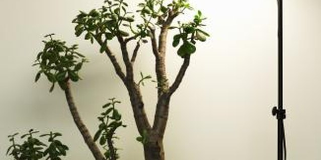 Jade plants are easy to grow, and therefore make excellent houseplants.