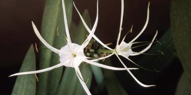 Peruvian daffodils are also called spider lilies.