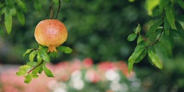 How to Overwinter a Pomegranate Indoors