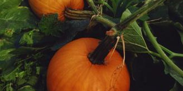 Young pumpkins grow rapidly after pollination and mature by fall.
