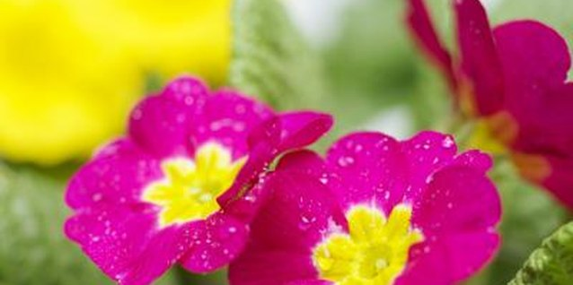 Cape primrose blooms come in purple, white, pink and yellow.