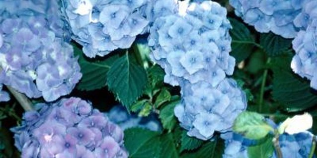 Hydrangeas add color and beauty to a garden.