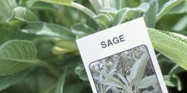 Sage has fewer pests than other plants due to its oils.