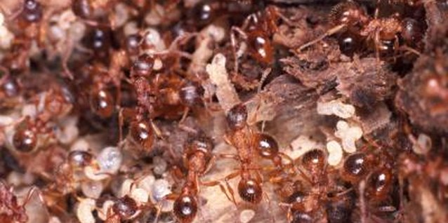 Homemade Ant Killer for Using Around the Outside of the Home