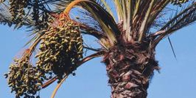 Classically sweet dates come from the date palm.