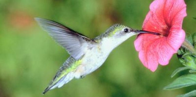 Bright pink, nectar-rich petunias attract hummingbirds.