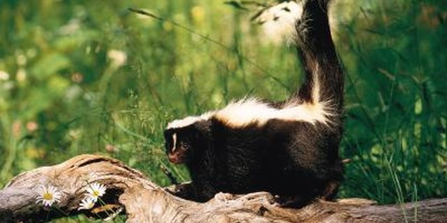 Signs of a Skunk in Your Yard