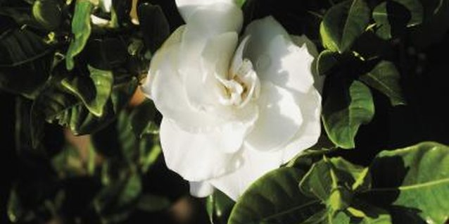 Scale infestations are a serious threat to gardenias.