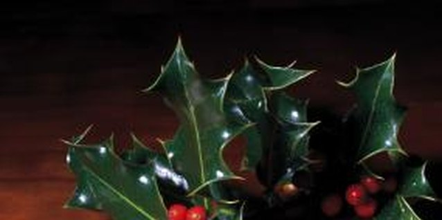 Spiny English holly is beautiful but potentially harmful.