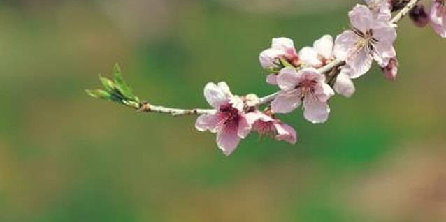 Cherries rely on bees for pollination when their flowers open in early spring.