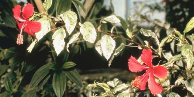 How to Winterize a Perennial Hibiscus
