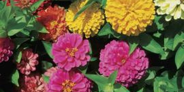 Zinnias come in many different colors and flower forms.