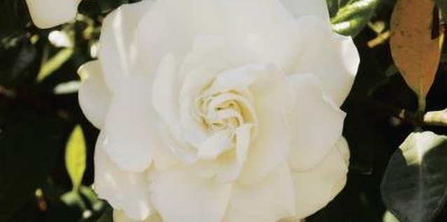 Improve your gardenia's health with water and vinegar.