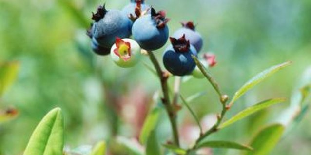 Blueberry shrubs are one of many plants that prefer acidic soils.